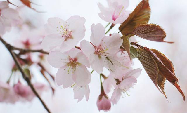 Japanische Zierkirsche mit weißrosa Blüten